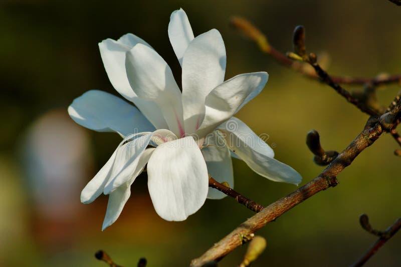Härlig vit blomningmagnolia - blomningträd Magnoliastellata arkivfoto