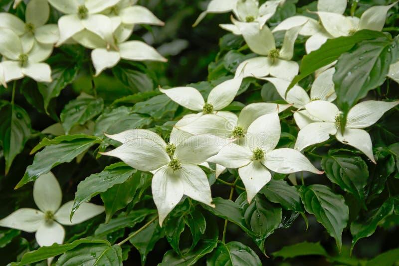 Härlig vit blomningskogskornell blommar i trädgården arkivbilder