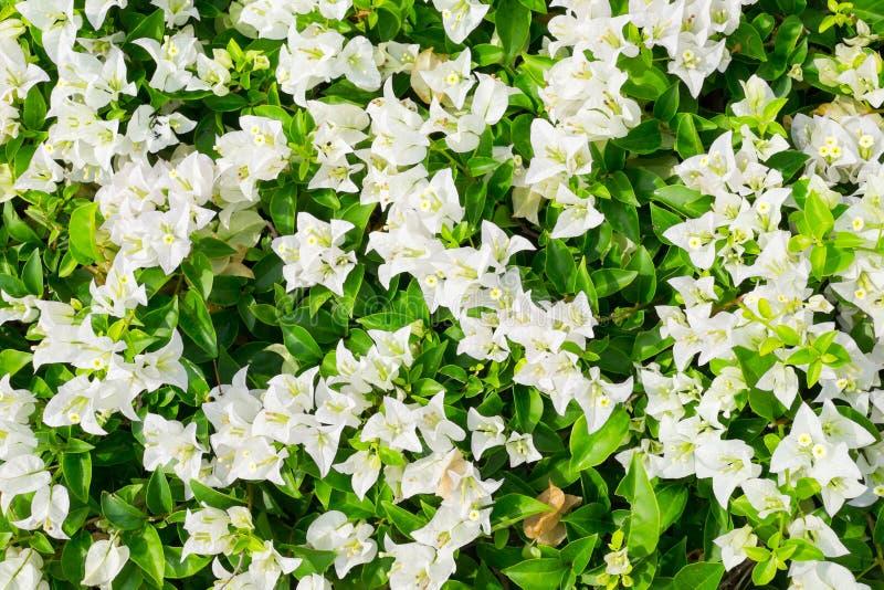 Härlig vit bougainvillea arkivbilder