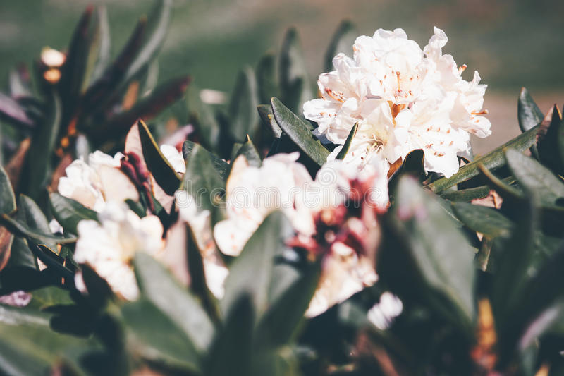 Härlig vit färg för rhododendronblommor arkivfoto