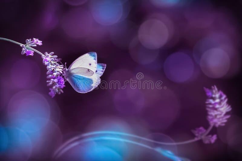 Härlig vit fjäril på blommorna av lavendel Naturlig bild för sommarvår i blått- och lilasignaler royaltyfri bild