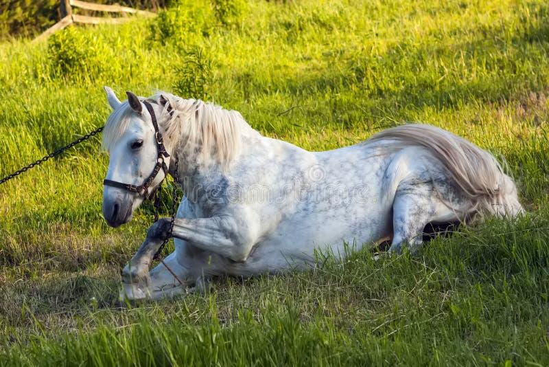 Härlig vit häst som ligger i gräs royaltyfria bilder