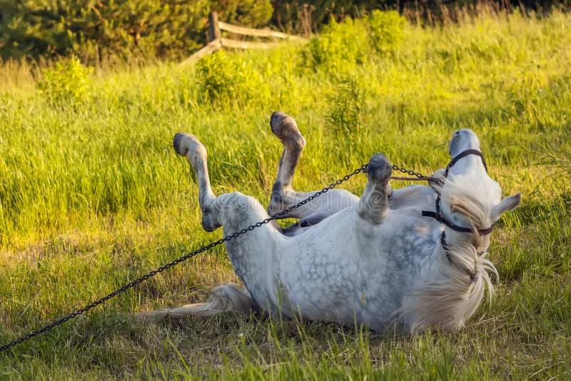 Härlig vit häst som ligger i grönt gräs arkivfoto