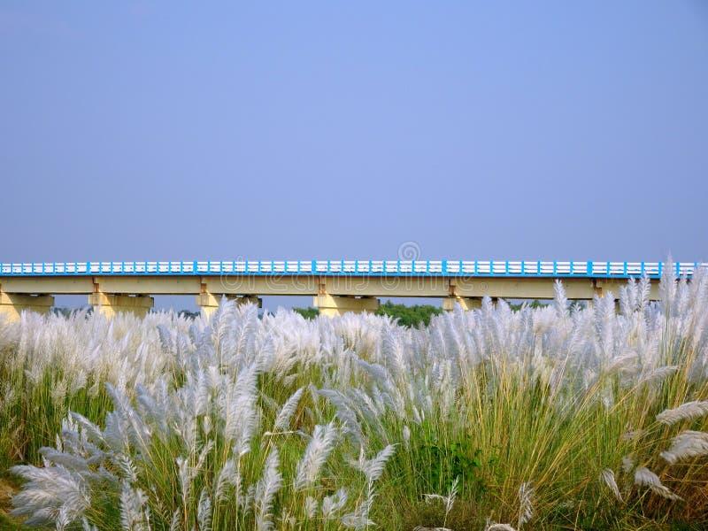 Härlig vit kash eller kans gräs att växa för blommor på en indisk flodsäng under en bro med bakgrund för blå himmel royaltyfri fotografi