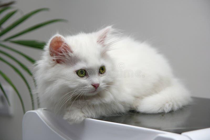 Härlig vit persisk kattunge royaltyfri bild
