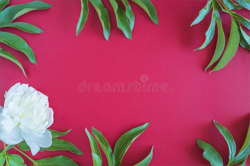 Härlig vit pion och gröna sidor på röd bakgrund arkivbilder