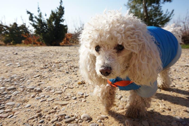 Härlig vit pudelhund som går i fältet royaltyfri bild