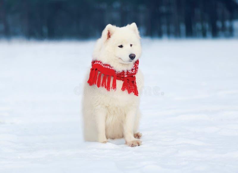 Härlig vit Samoyedhund som bär ett rött halsduksammanträde på insnöad vinter arkivbilder