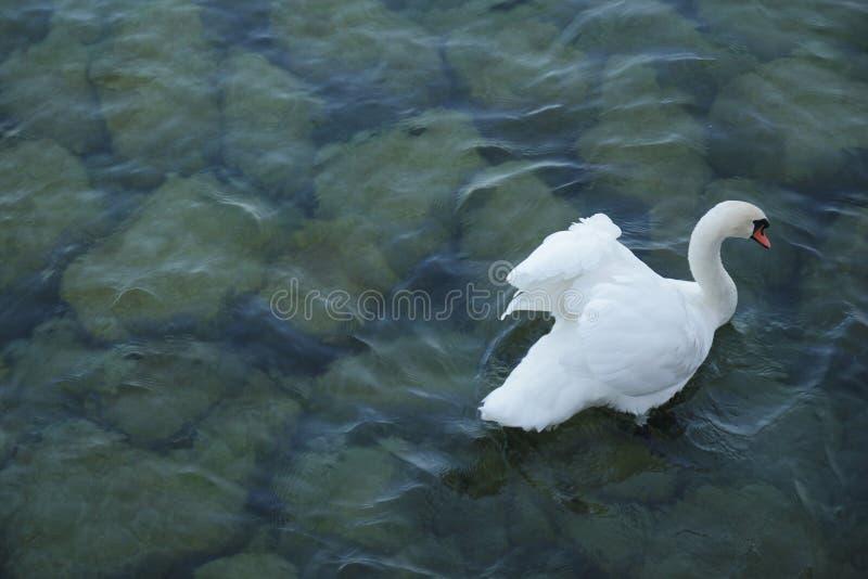 Härlig vit svan på den blåa floden royaltyfri foto