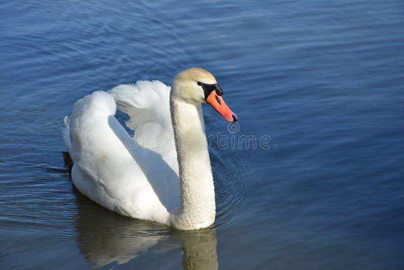 Härlig vit svan på sjön royaltyfri foto