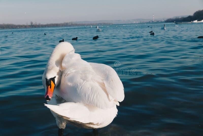 Härlig vit svan som gör ren hans vingar i floden royaltyfria bilder