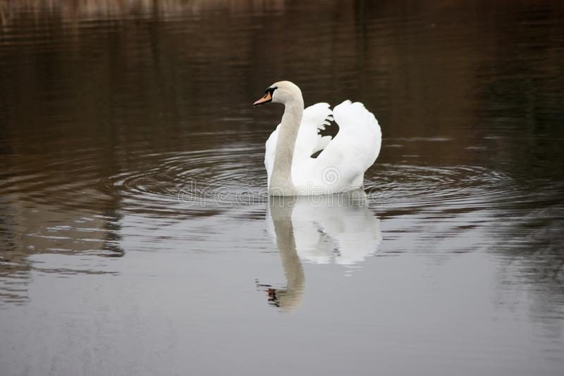 Härlig vit svan som svävar på sjön royaltyfri fotografi