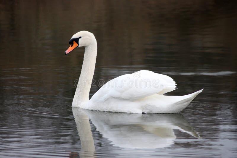 Härlig vit svan som svävar på sjön fotografering för bildbyråer