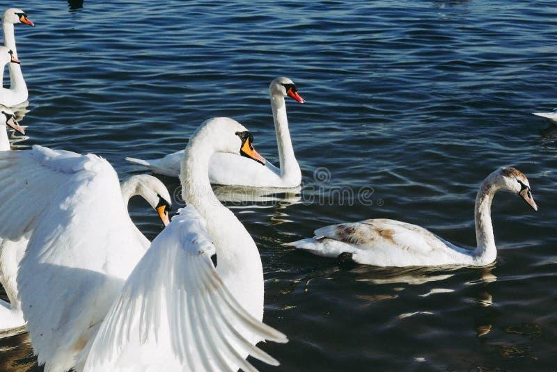 Härlig vit svan som viftar med hans vingar och förbereder sig att flyga arkivbilder