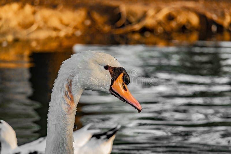 Härlig vit svanand som svävar i alqudrasjön royaltyfria bilder