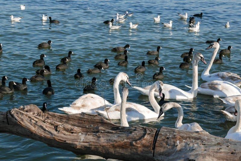 Härlig vit svanflocksimning i floden i Belgrade arkivbild