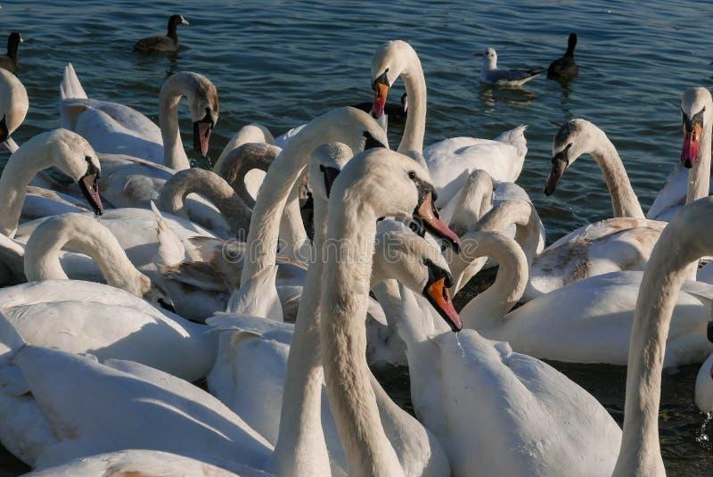 Härlig vit svanflocksimning i floden i Serbien arkivbilder
