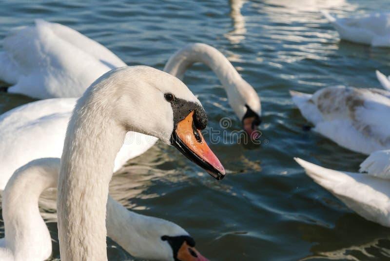 Härlig vit svansimning på en solig dag i floden royaltyfri bild