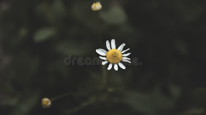 Härlig vit tusensköna på en mörk tonad populär bakgrund Wild f?ltblomma fotografering för bildbyråer