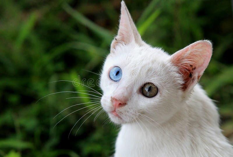 Härlig vit udda-synad katt royaltyfria foton