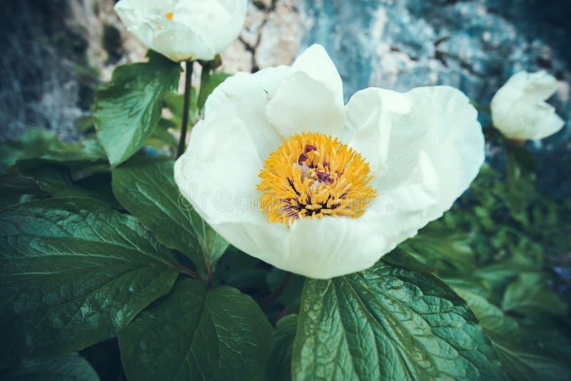 Härlig vit vårblomma arkivfoton
