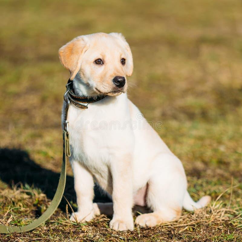 Härlig vit valp för hundlabblabrador royaltyfri foto