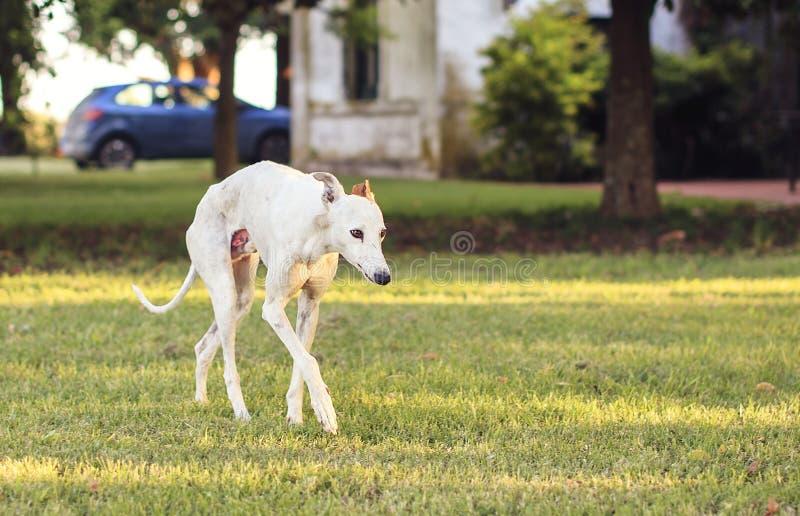 Härlig vit vinthund som går på gräset arkivbilder