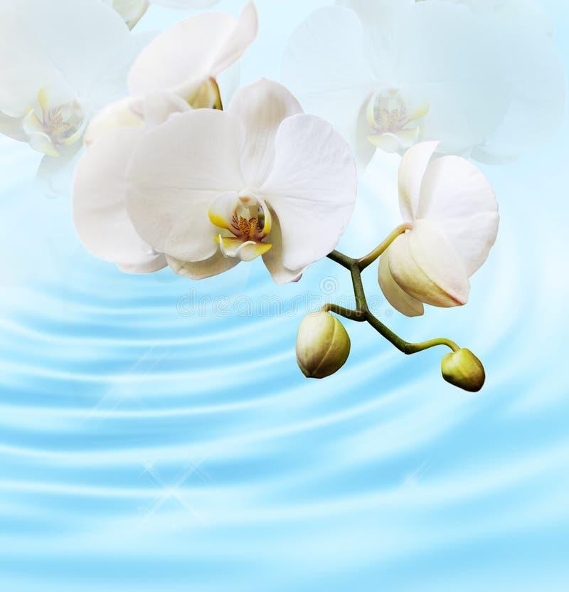 Härlig vitorchid royaltyfri bild
