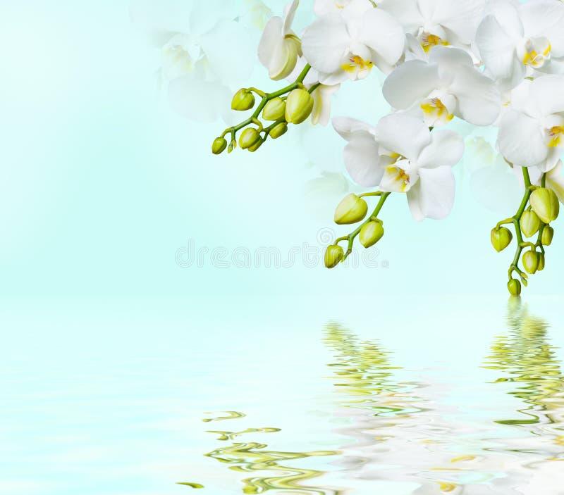Härlig vitorchid arkivfoton