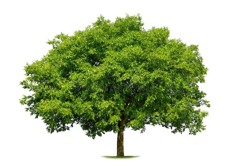 härlig white för deciduous tree fotografering för bildbyråer