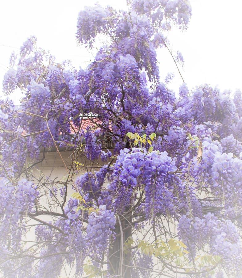 Härlig wistariablomma i trädgården arkivbild