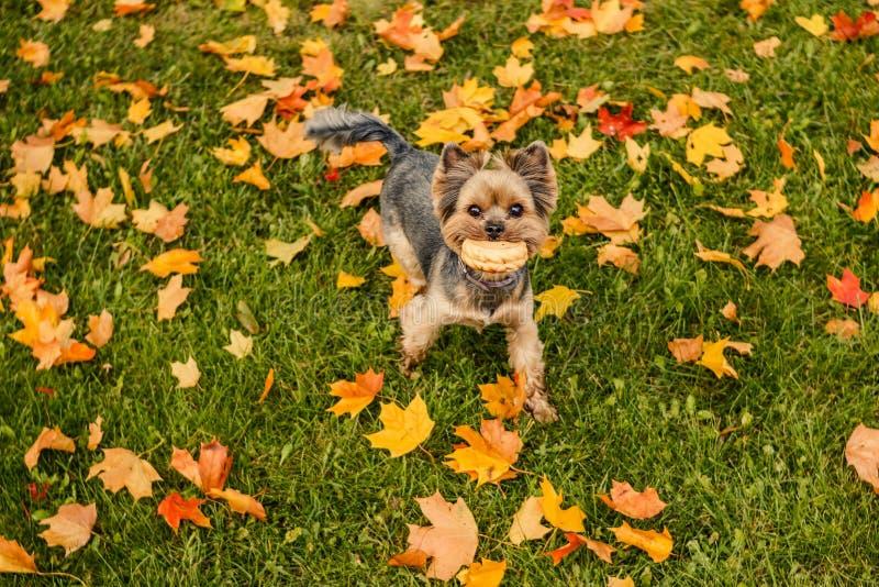 Härlig yorkshire terrier som spelar med en boll på ett gräs Valpen som går, har roligt utomhus- i nedgångsäsong Lyckligt roligt royaltyfri foto