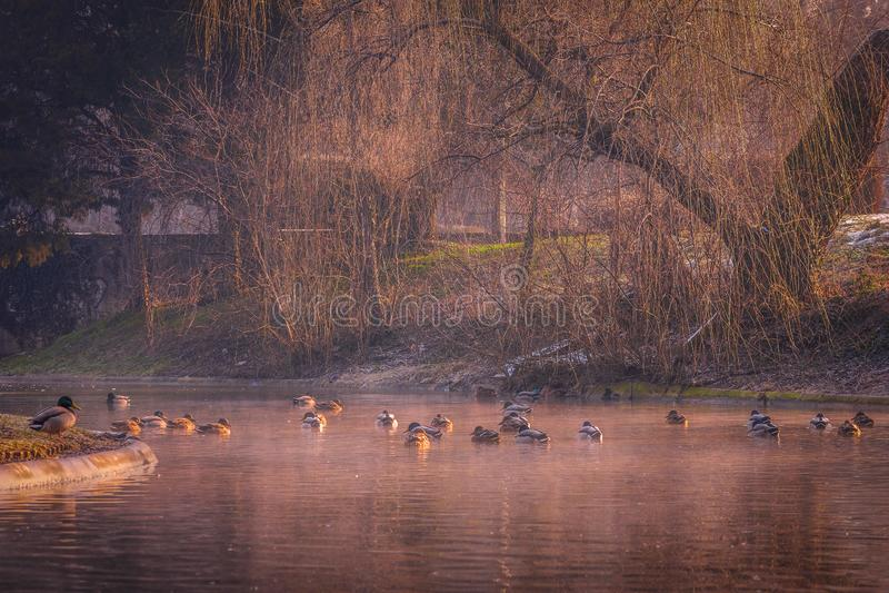 Härliga änder på sjön på en kall vintermorgon royaltyfri bild