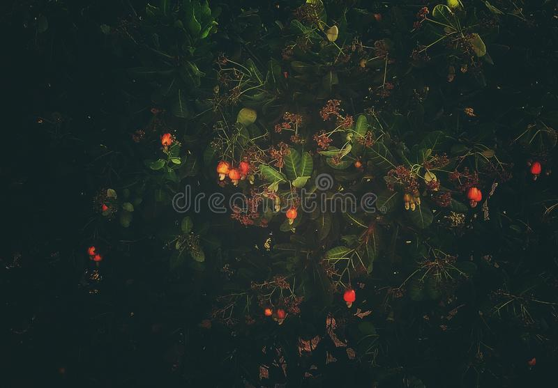 Härliga äpplen för en cashewnut i ett träd arkivfoton