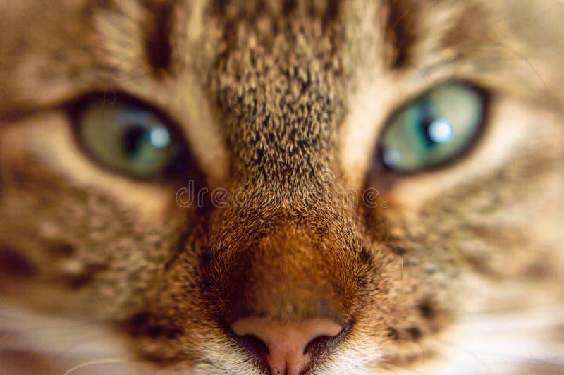 Härliga ögon av katten royaltyfria bilder