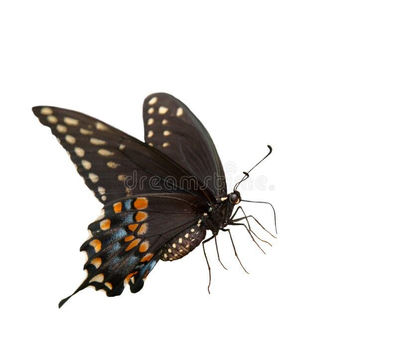 Härliga östliga svarta Swallowtail royaltyfri bild
