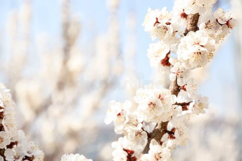 Härliga aprikosträdfilialer med mycket små mjuka blommor utomhus, utrymme för text royaltyfri fotografi