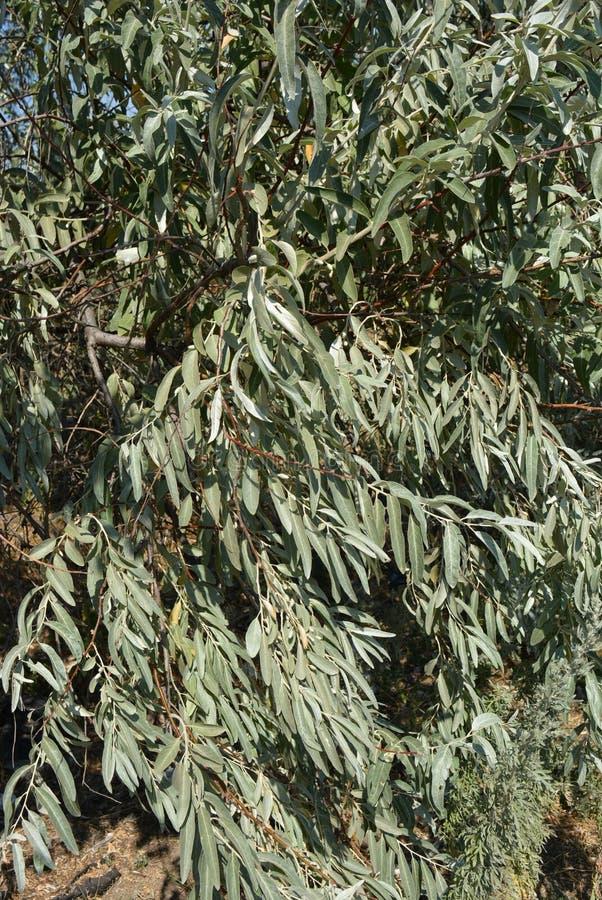 Härliga avlånga frostade sidor av rysk oliv Mycket härligt och intressant träd av Elaeagnusangustifoliaen med filialer royaltyfri fotografi