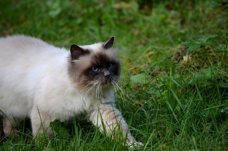 Härliga azurblått synade katten som stryker omkring i grön vegetation royaltyfria foton