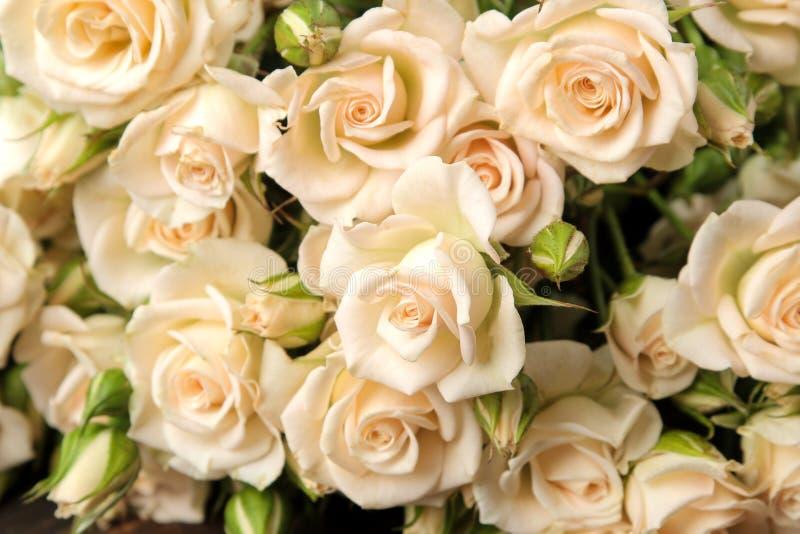 Härliga beigea mini- rosor stänger sig upp härliga blommor ferier royaltyfria foton