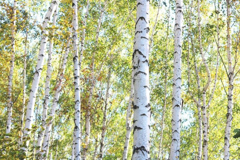 Härliga björkar i skog i höst royaltyfri fotografi