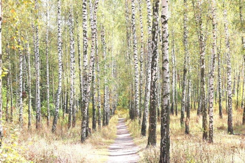 Härliga björkträd arkivbild