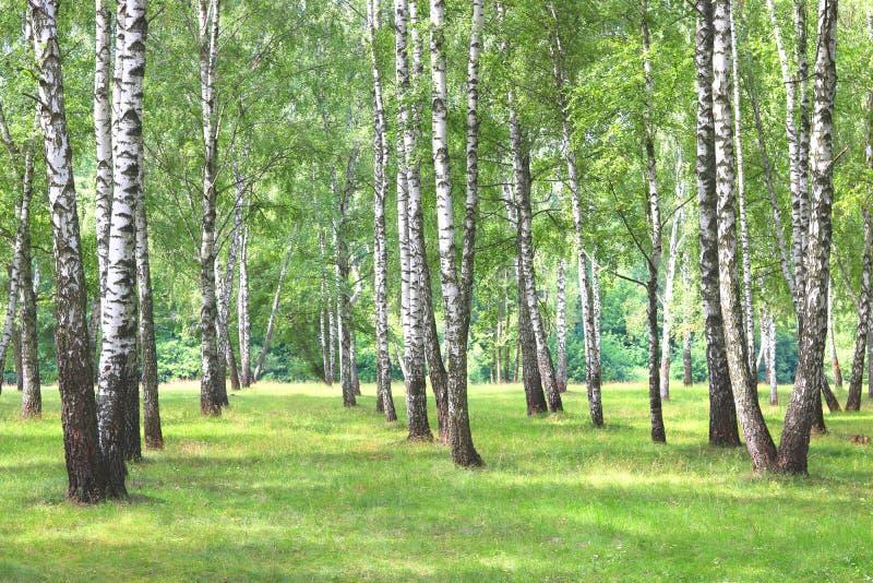 Härliga björkträd med skället för vit björk i björkdunge royaltyfri foto