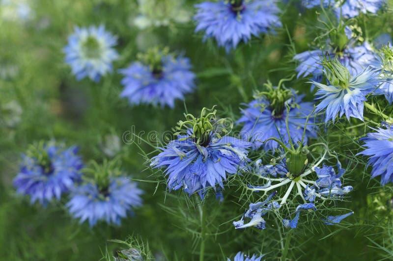 Härliga blåa blommor av svart spiskummin på blomsterrabatten fotografering för bildbyråer