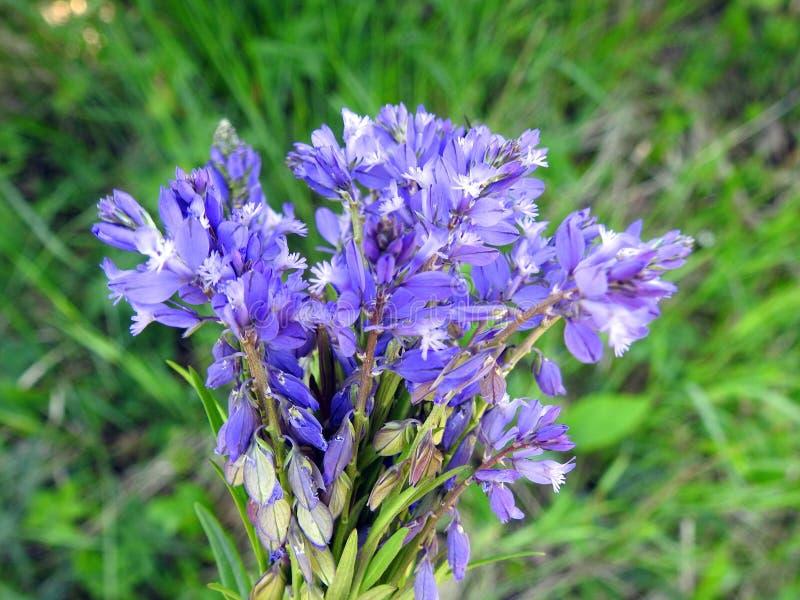 Härliga blåa lösa blommor i ängen, Litauen royaltyfri bild