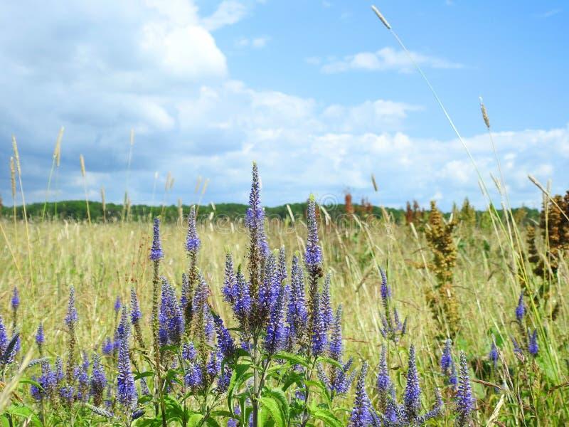 Härliga blåa lösa blommor i ängen, Litauen arkivbilder