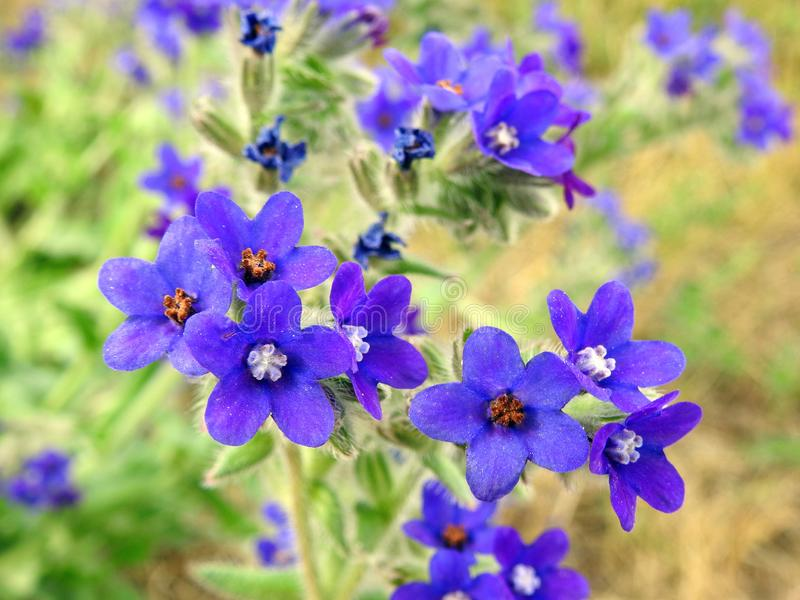 Härliga blåa lösa blommor i ängen, Litauen royaltyfria foton