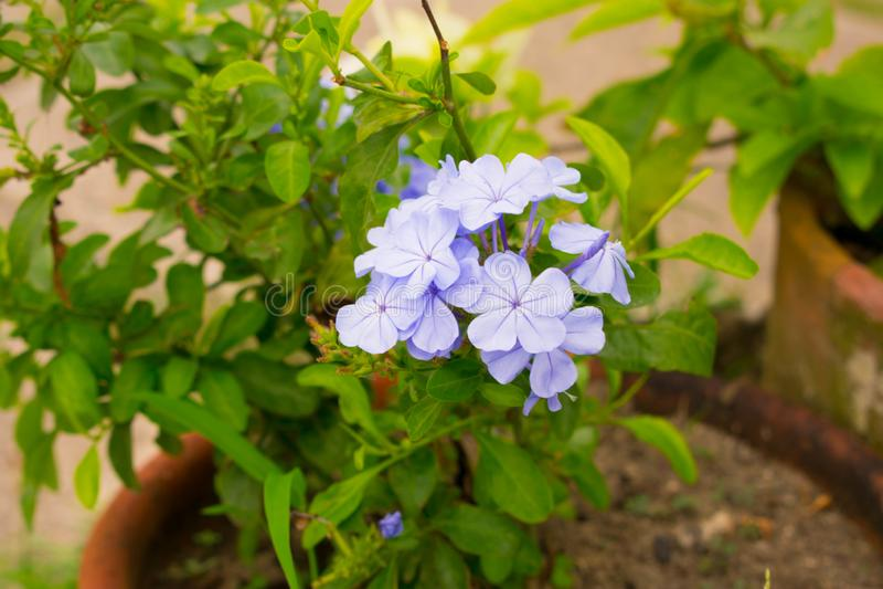 Härliga blått Violet Million Dollar Flower i en kruka arkivbilder