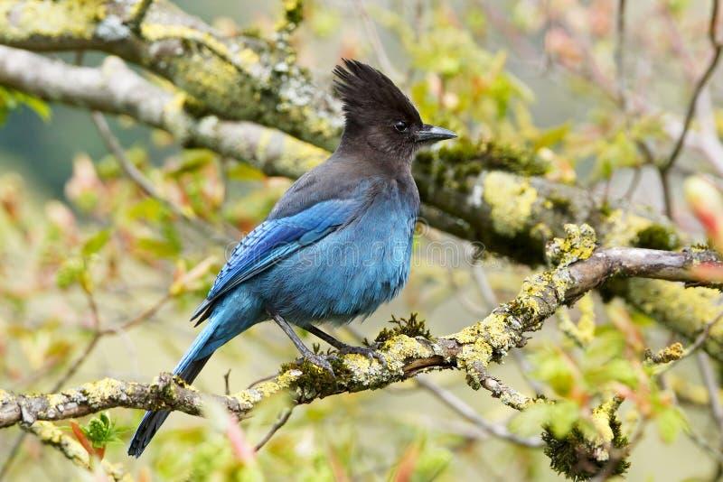 Härliga blåttStellers Jay Springtime fotografering för bildbyråer