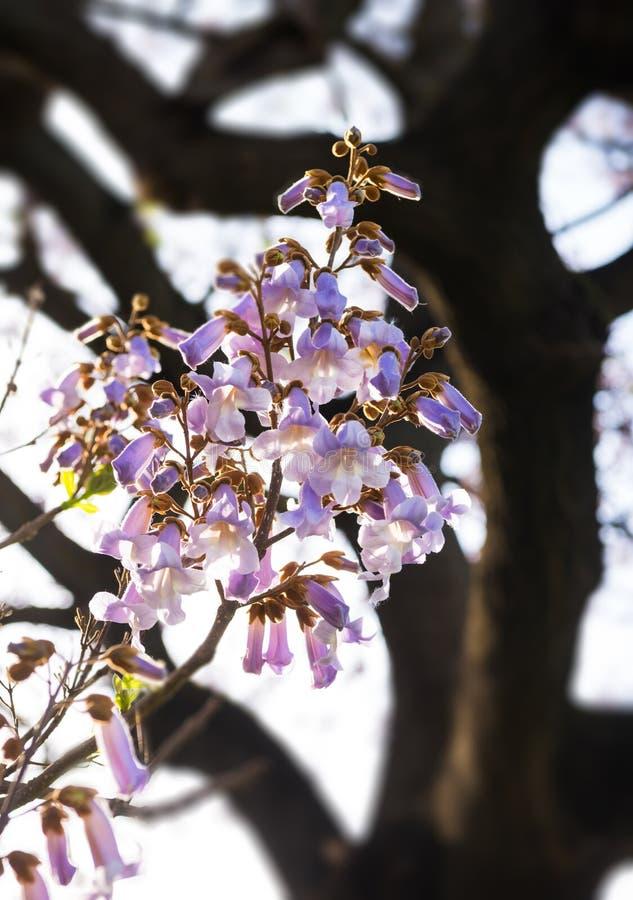 Härliga blomma blommor av Paulowniaträdet royaltyfri fotografi